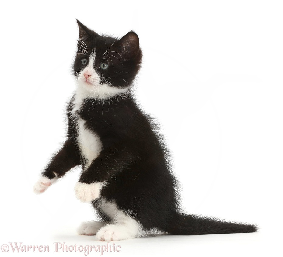 Black-and-white kitten, Solo, 6 weeks old, sitting up, white background
