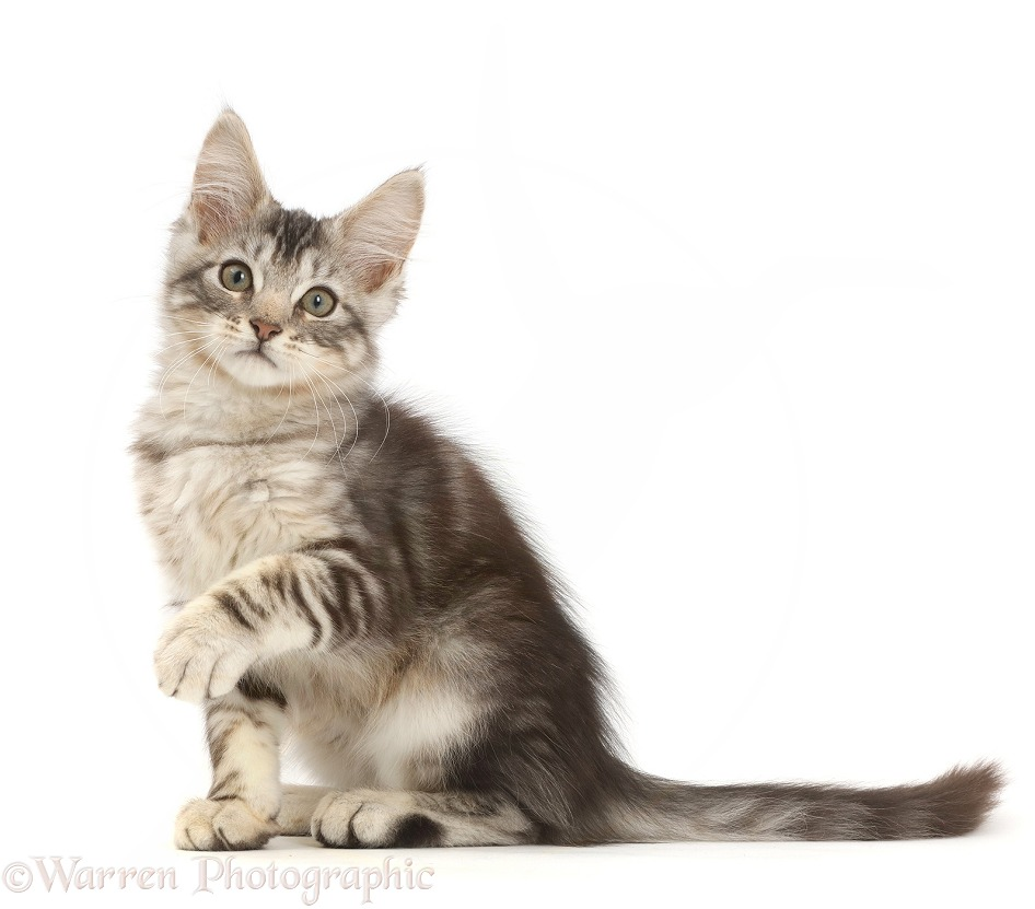 Silver tabby kitten, Loki, 12 weeks old, sitting with raised paw, white background