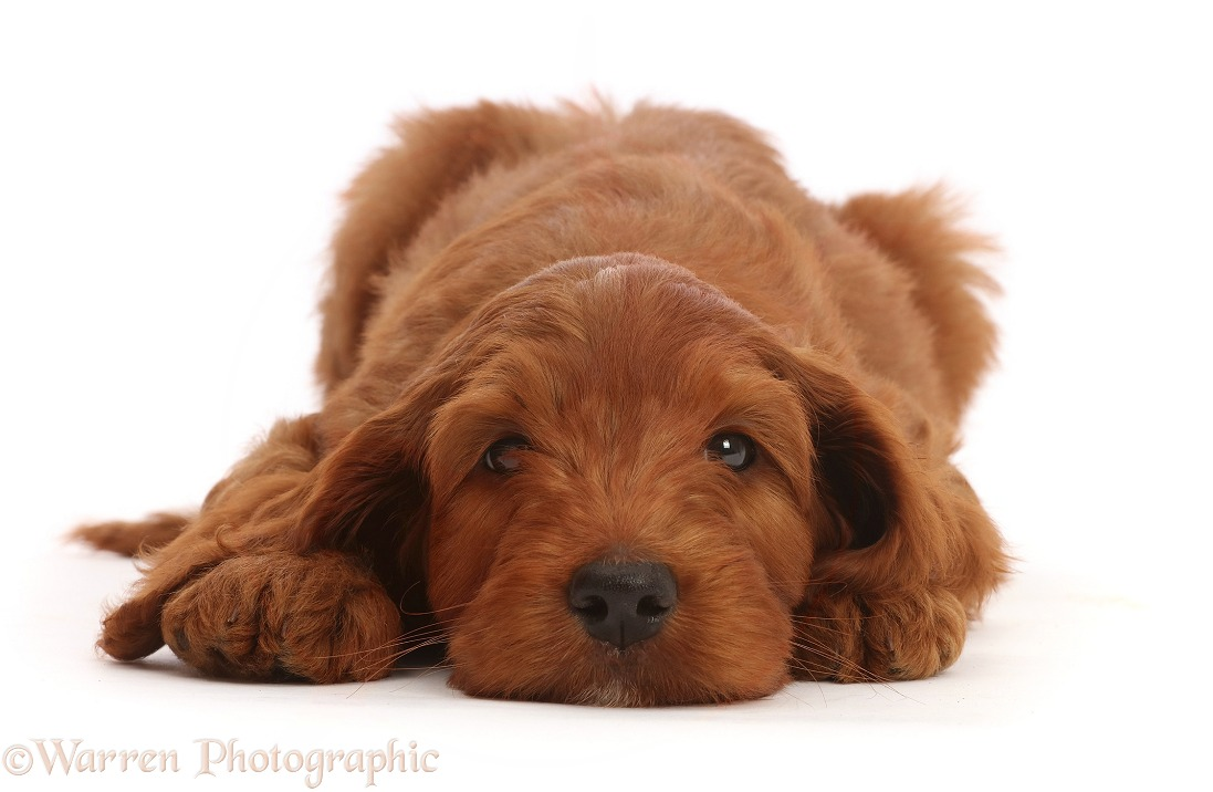 Australian Labradoodle puppy, chin on the floor, white background