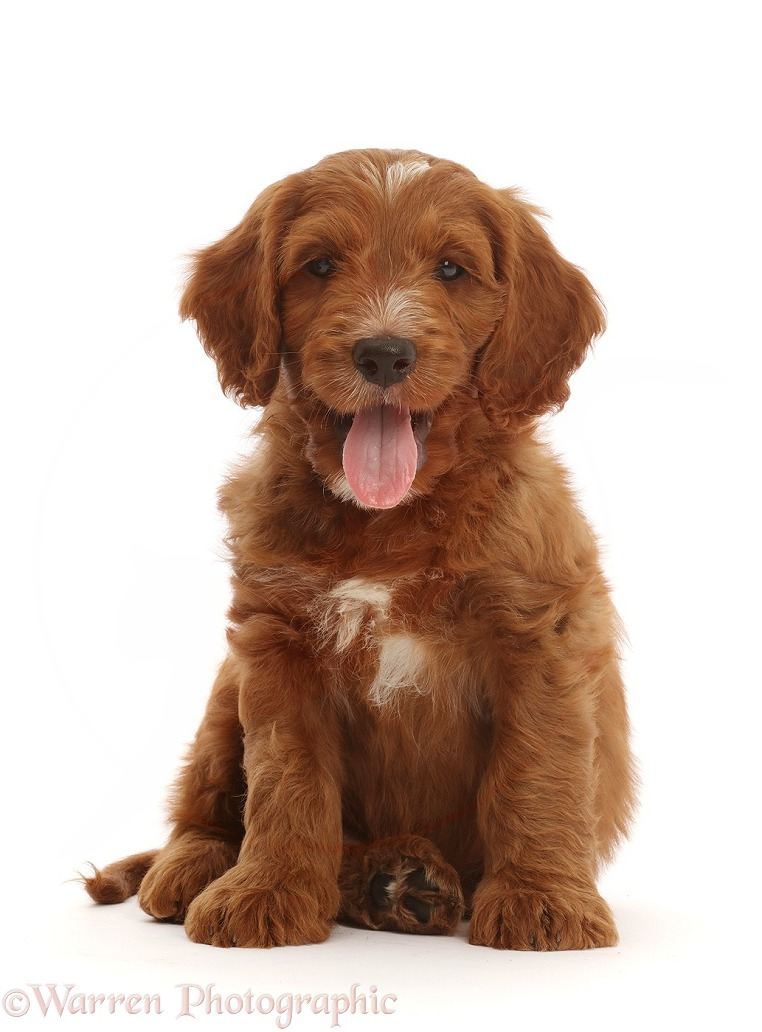 Australian Labradoodle puppy, tongue out, white background