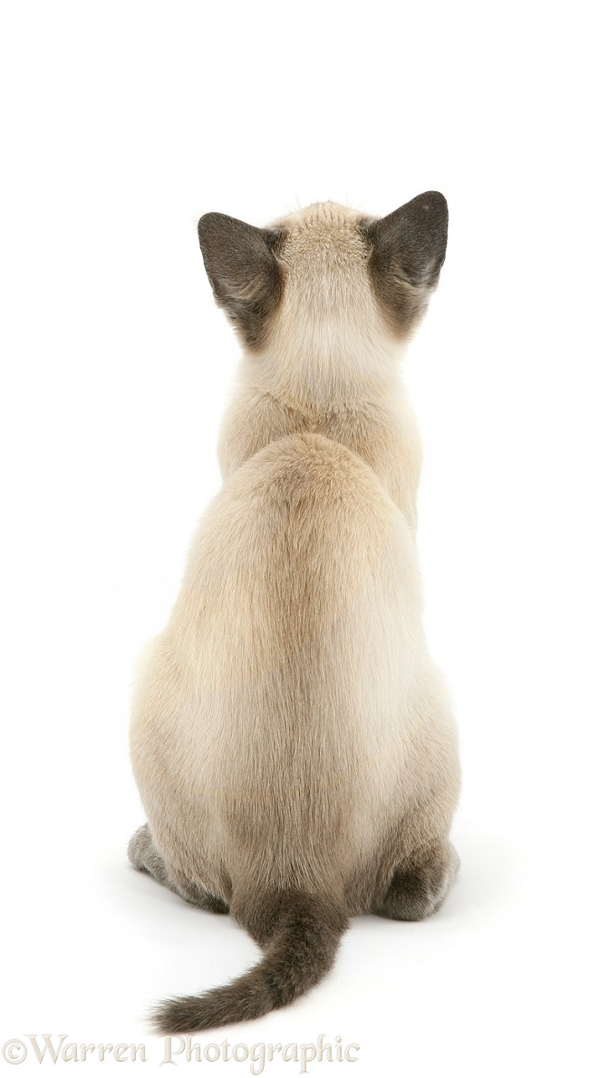Blue-point Siamese kitten, back view, white background