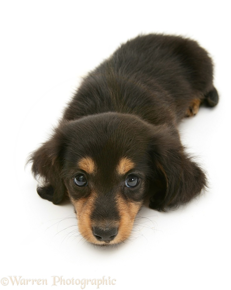 Silver Dapple Miniature Long-haired Dachshund pup lying with chin on the floor, white background