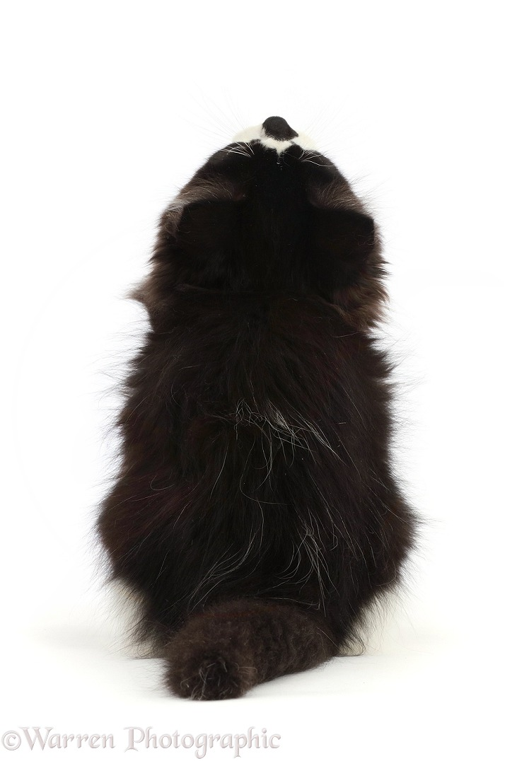 Black-and-white kitten sitting, viewed from behind, white background