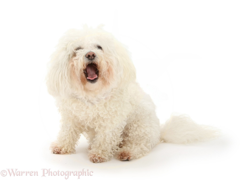 Bichon Frise bitch, Poppy. Mouth open, white background