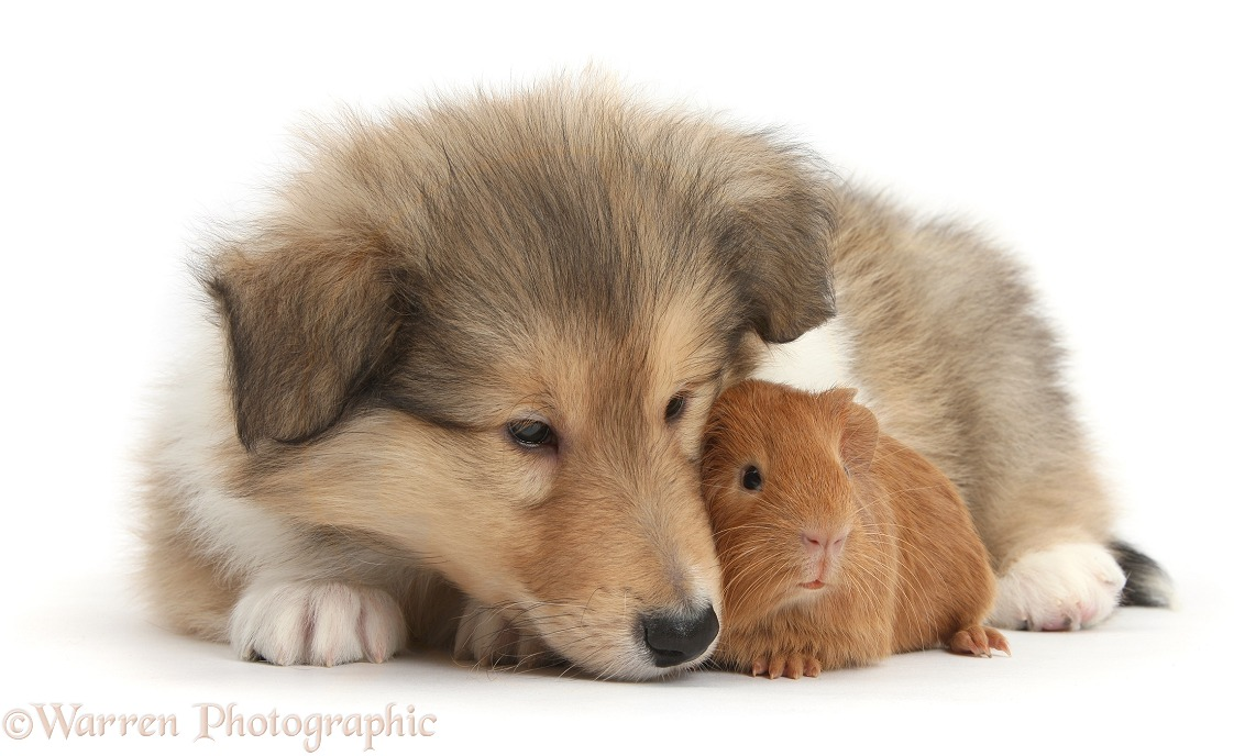 Sable Rough Collie puppy and baby red Guinea pig, white background