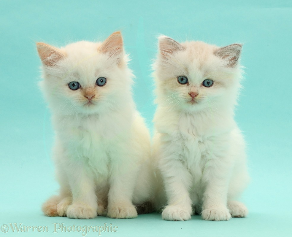 Persian-cross kittens on blue background