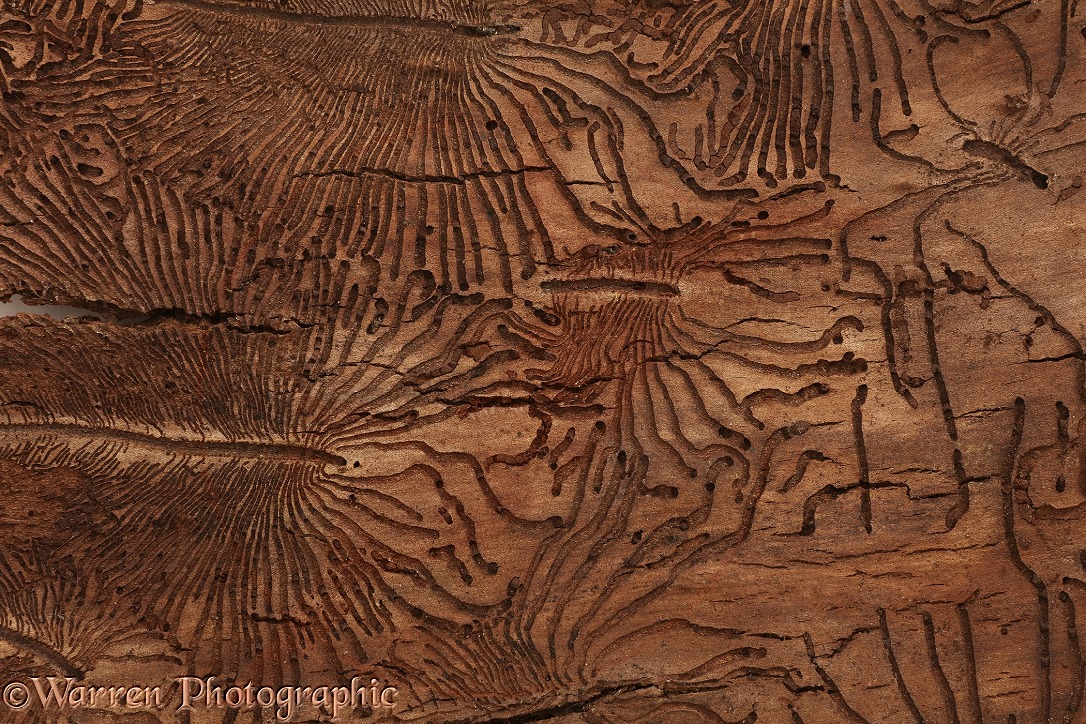Patterns in Elm bark made by Elm Bark Beetles (Scolytus sp), responsible for Dutch Elm Disease