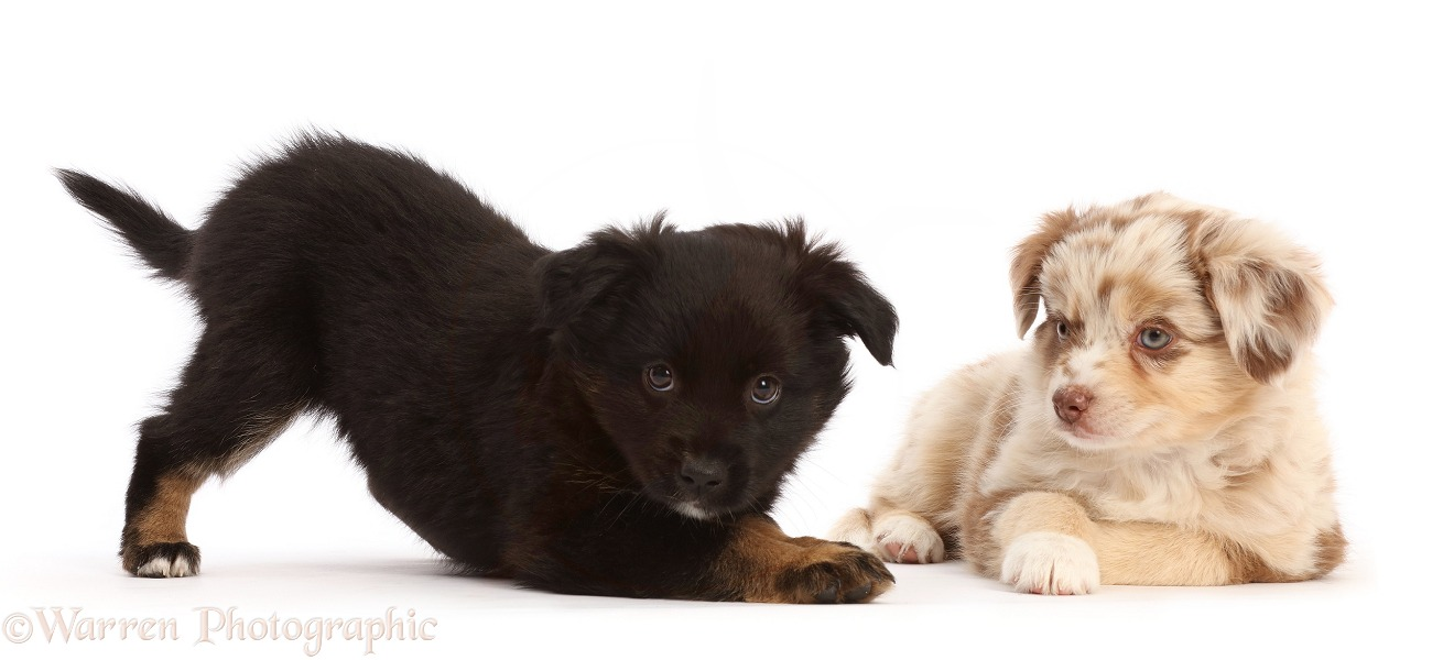 Mini American Shepherd puppy, 7 weeks old, in play bow, white background