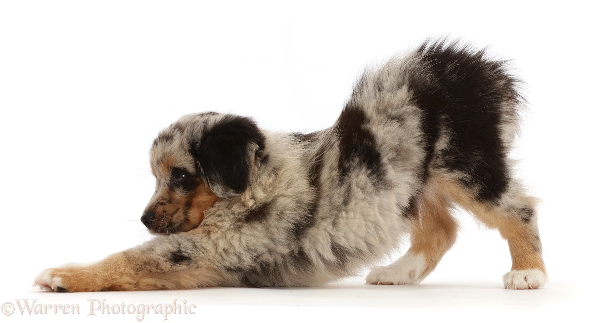 Merle Mini American Shepherd puppy, 7 weeks old, stretching, white background
