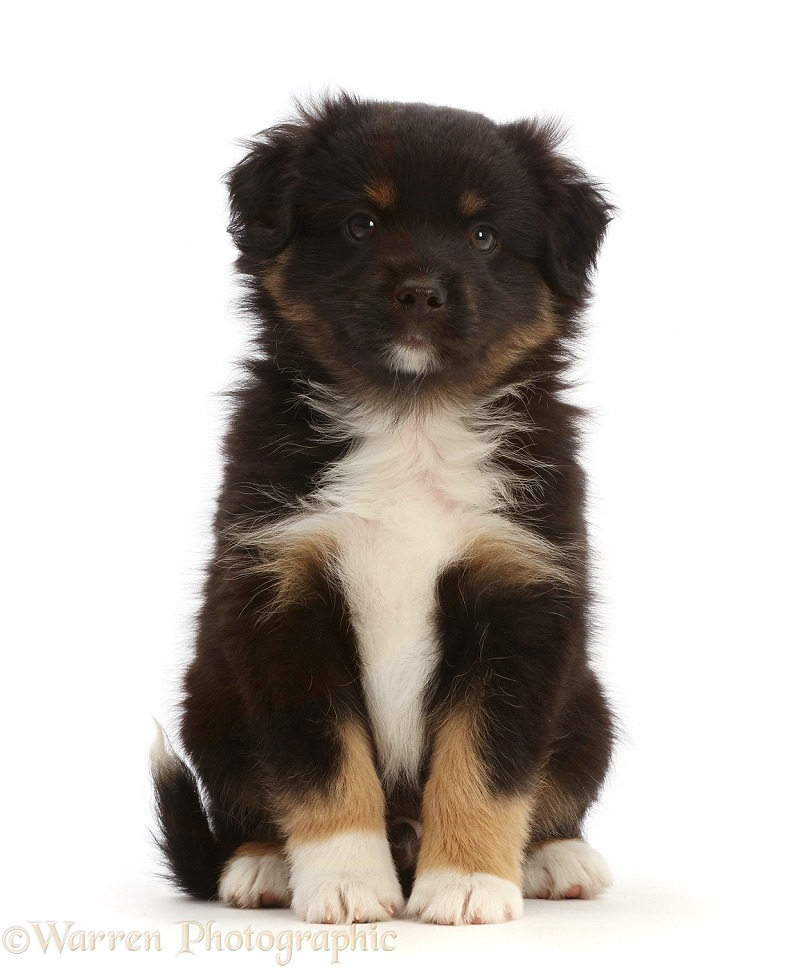 Mini American Shepherd puppy, 7 weeks old, white background