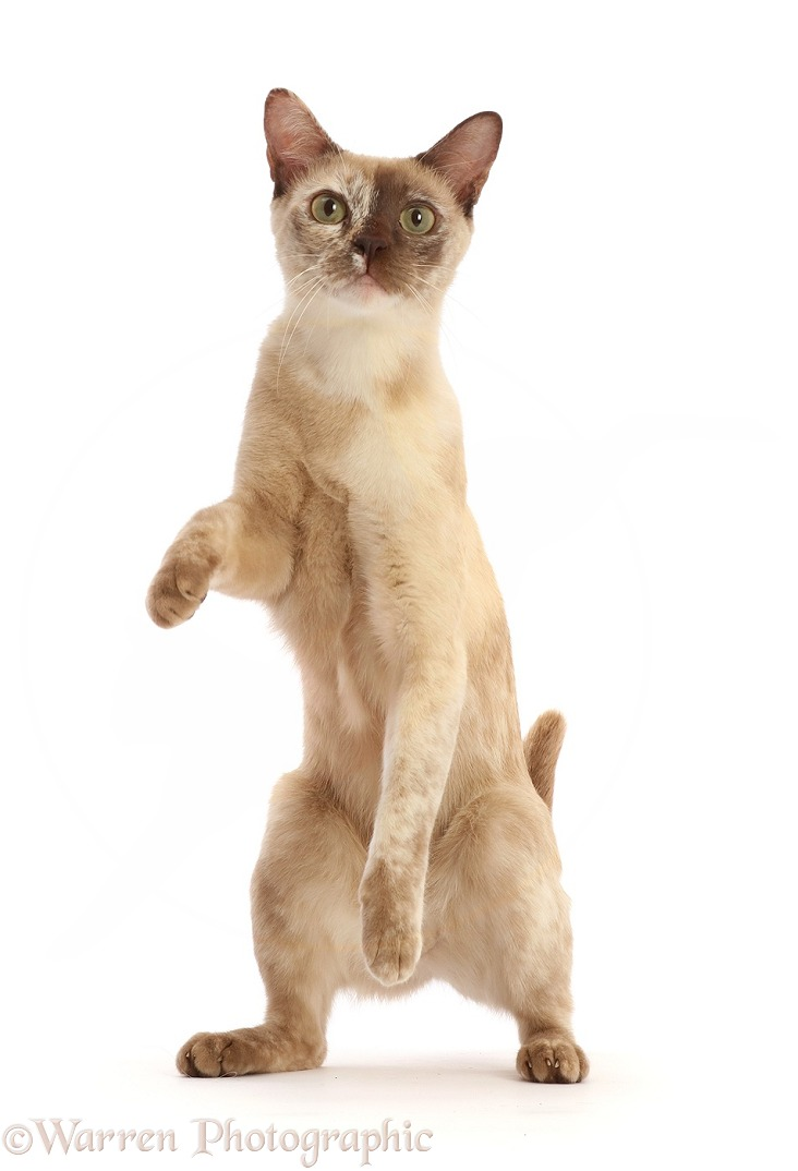 Pale tortoiseshell Burmese cat, 1 year old, standing up, white background