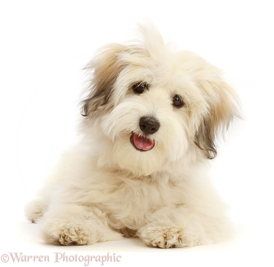 Coton de Tulear puppy, 5 months old, white background