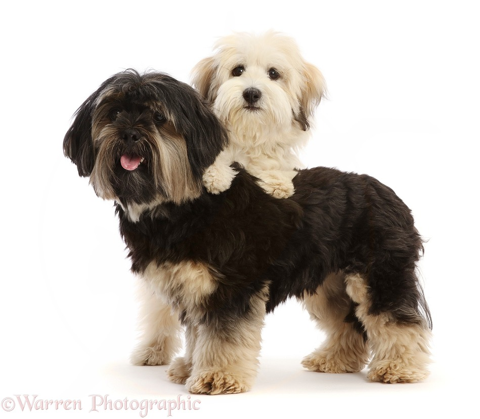 Coton de Tulear puppy  and Yorkshire Terrier x Shih-tzu, white background