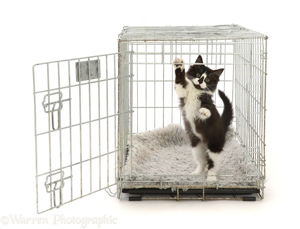 Playful black-and-white kitten in a crate, white background