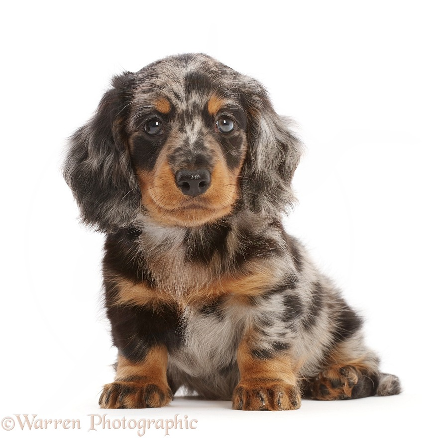Long-haired Dapple Dachshund puppy, 7 weeks old, white background