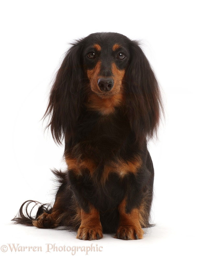Black-and-tan Long-haired Dachshund bitch, white background