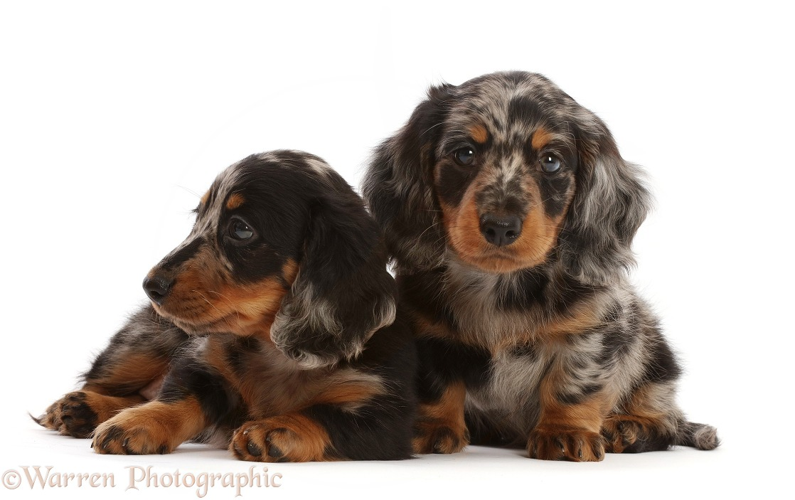 Long-haired Dapple Dachshund puppies, 7 weeks old, white background