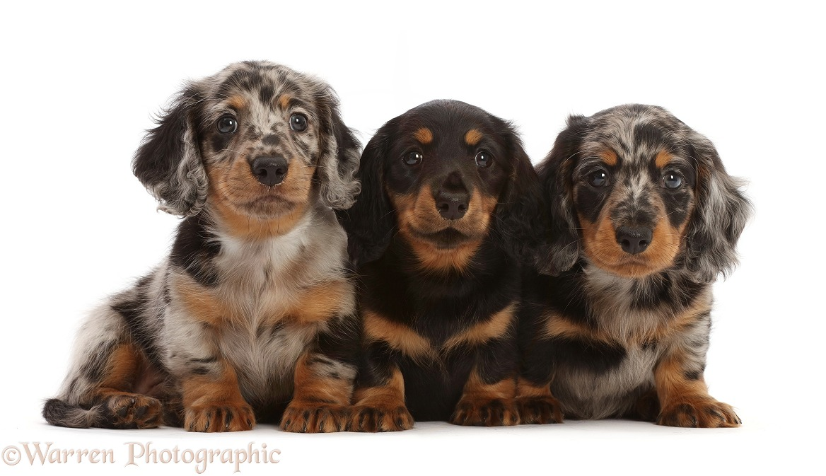 Three Long-haired Dachshund puppies, 7 weeks old, white background