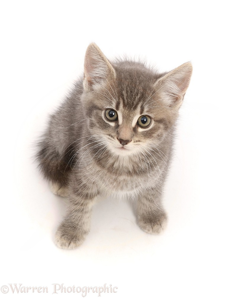 Grey tabby kitten, sitting looking up, white background
