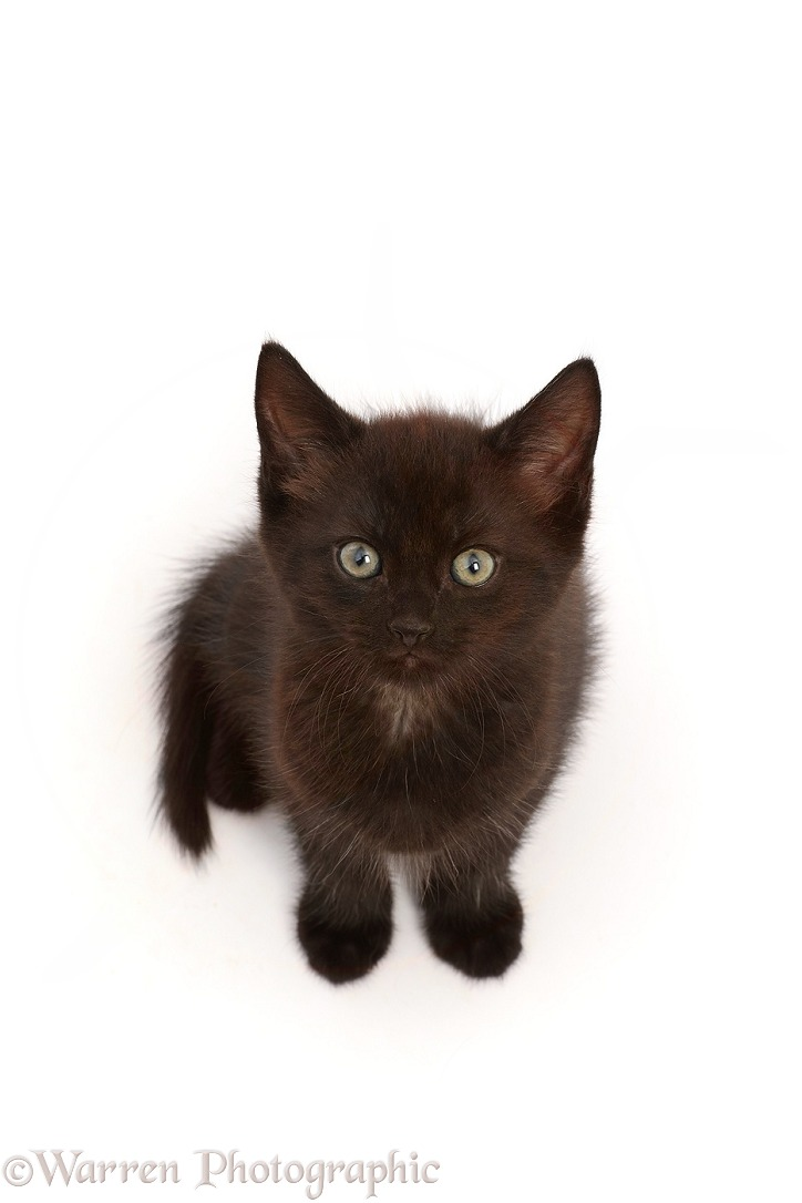 Black kitten, sitting looking up, white background