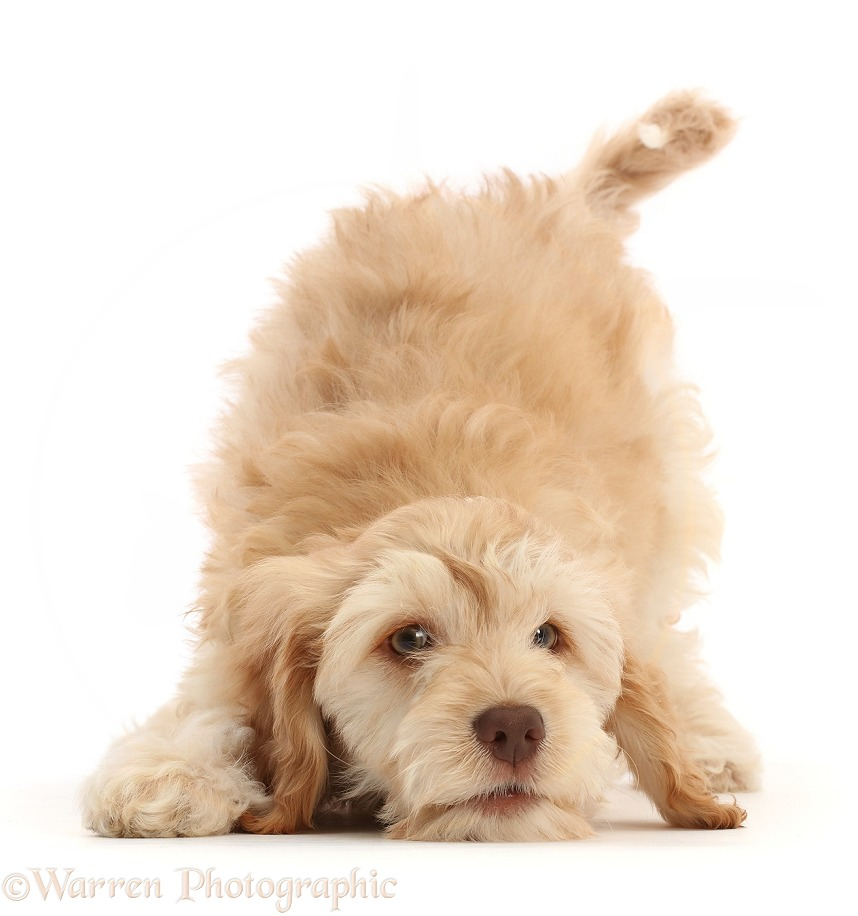 Cockapoo puppy in play-bow, white background