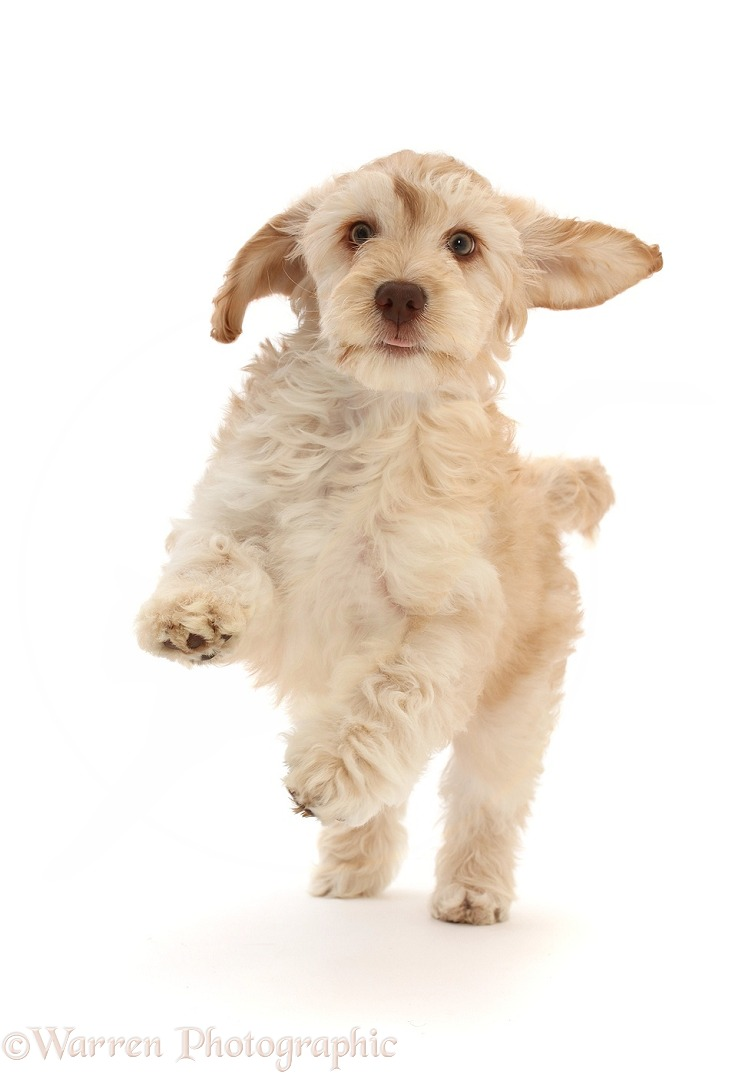 Cockapoo puppy running, white background