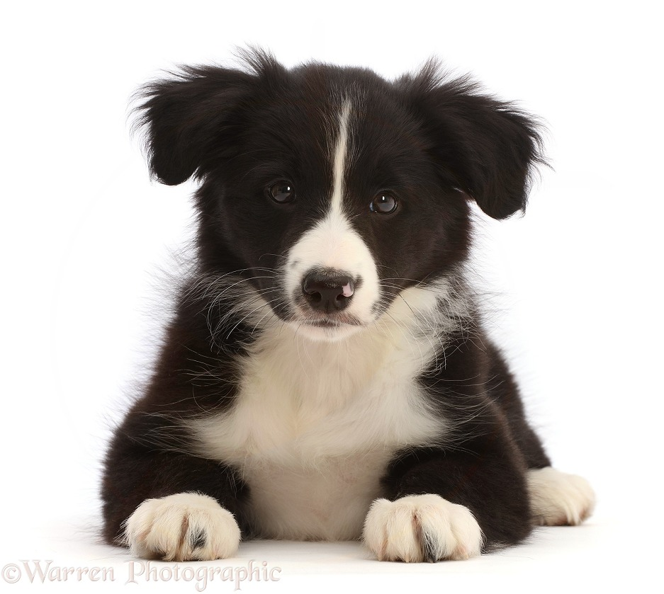 Black-and-white Border Collie puppy, white background