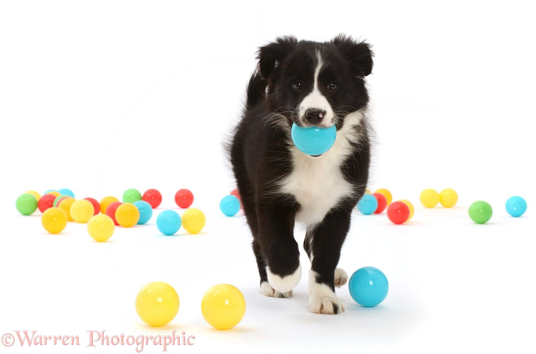 Black-and-white Border Collie puppy, carrying a ball, white background
