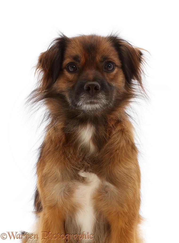 Romanian rescue dog, Rusty, of unknown parentage, white background
