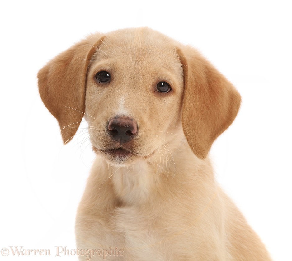 Yellow Labrador puppy, white background