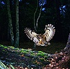 Tawny Owl & Mouse on Fallen pine
