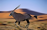 Oryx in motion