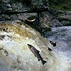 Salmon Leaping