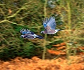 Jays in Flight