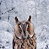 Long-eared Owl winking