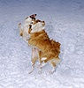 Dogs fighting in the snow