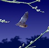 Pipistrelle flying among willow
