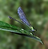 Blue winged Damsel fly
