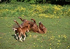 Shetland Pony and Foal playing