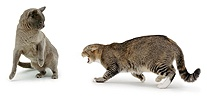 Cat, snarling at another