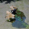 Puppies in a puddle