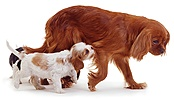 Cavalier King Charles & trailing puppies
