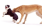 Saluki Lurcher growling at Border Collie