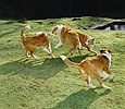 Dogs fighting on the lawn