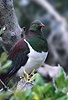 New Zealand Wood Pigeon