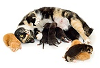 Cat with fox cubs and kittens
