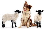 Border Collie dog with lambs