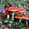 Frog on Fly Agaric