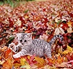 Kitten among liquid amber leaves