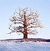 Ockley Oak - snow and sheep